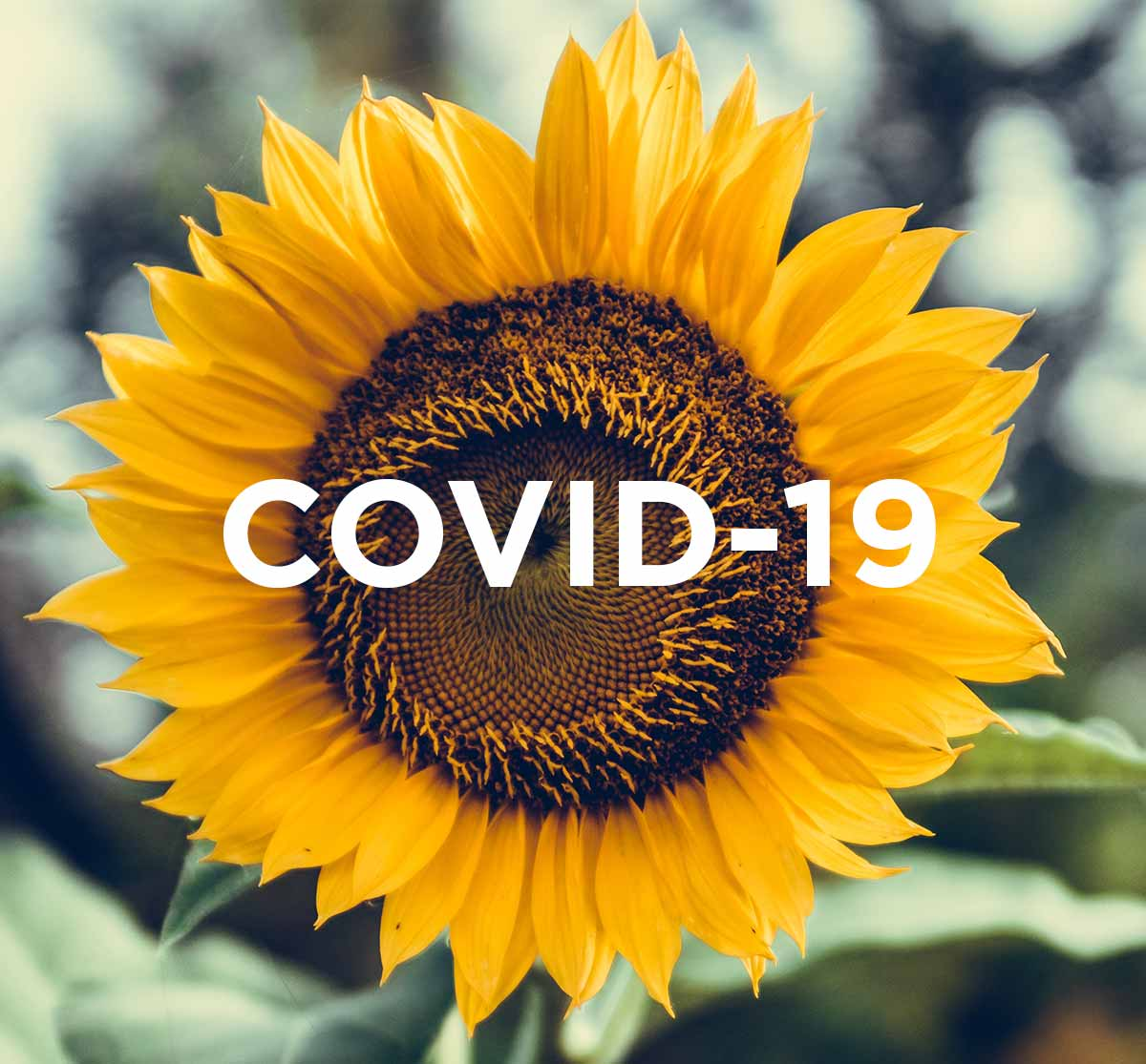 A sunflower with Covid-19 writing