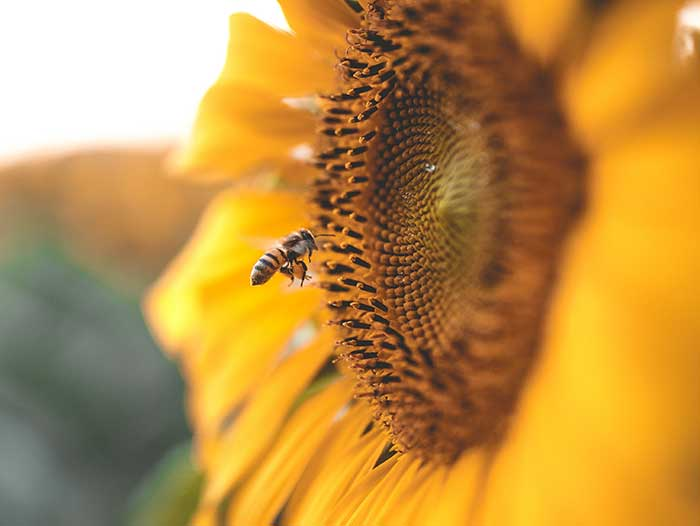 A sunflower with a bee