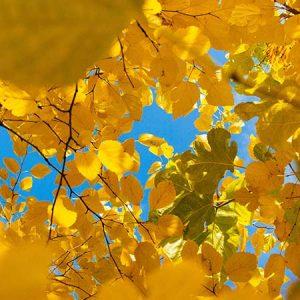 Autum leaves through a blue sky